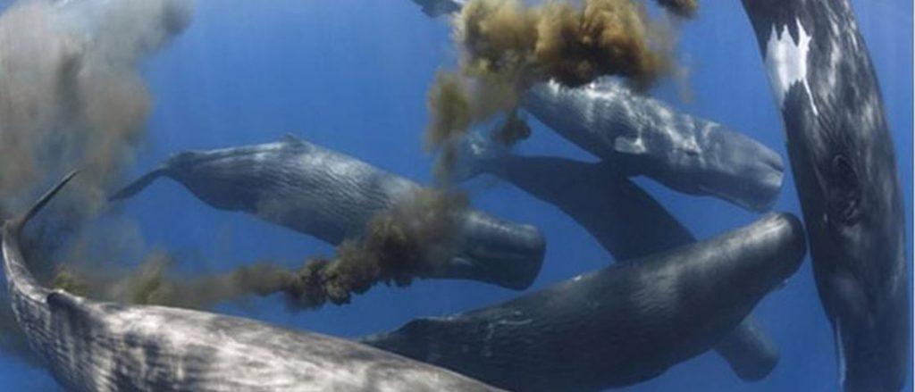 baleia-fezes