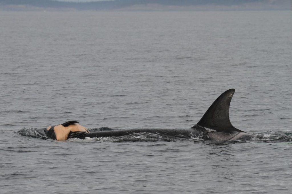 baleias-golfinhos-luto