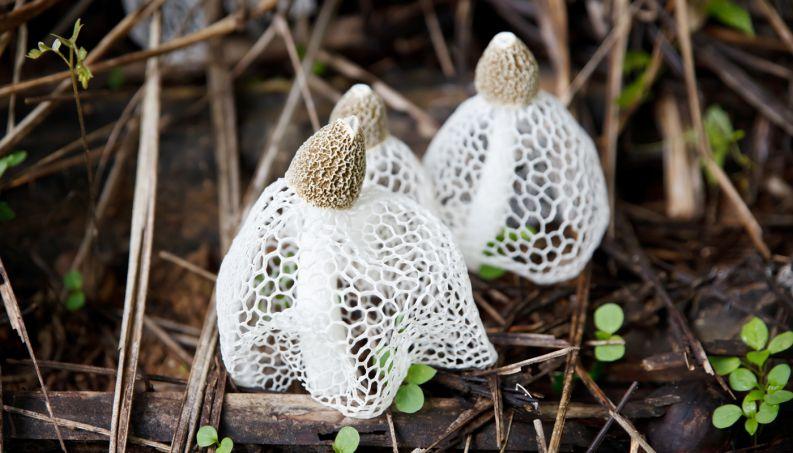cogumelo-dictyophora